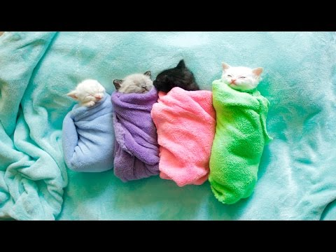 Siamese Kittens are Swaddled Purritos