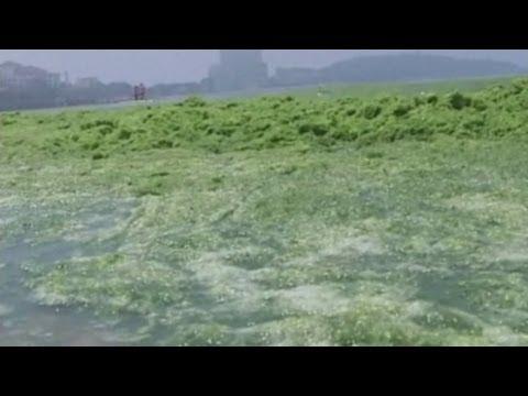 Miles of algae in Qingdao turns China sea green