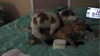 female dog humps male cat too funny