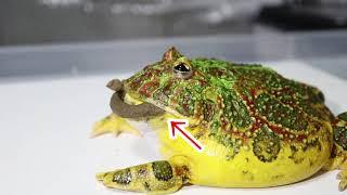 カエルにうんち(練り餌)をあげてみた結果…面白すぎた‼︎ thumbnail