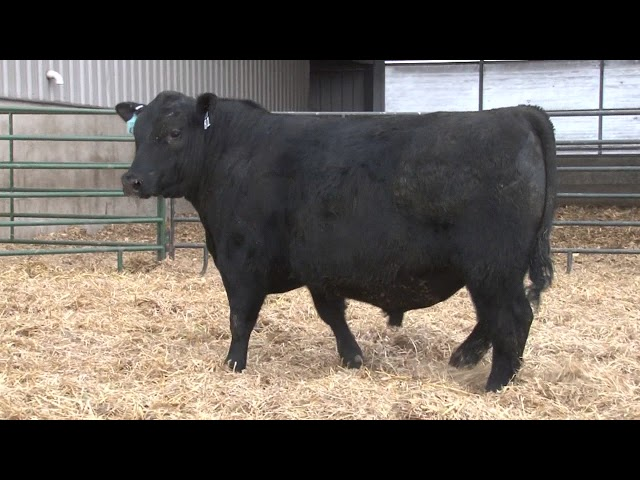 Schiefelbein Angus Farms Lot 81