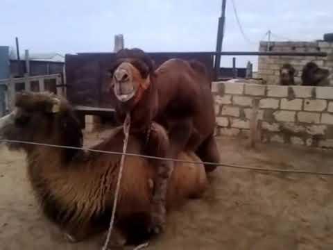 Секс верблюд ишак