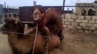 секс верблюдов часть 2 ,со зрителями :-)
