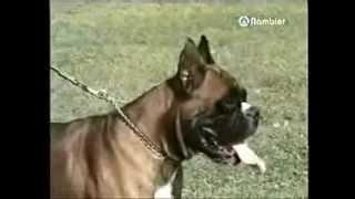 Боксер служебная собака 1