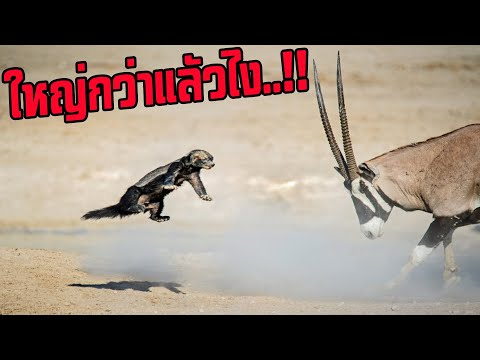 สัตว์เล็กล่าสัตว์ใหญ่!!!..สัตว์ตัวเล็ก8ชนิดที่ชอบล่าสัตว์ตัวใหญ่กว่ากินเป็นอาหารตามไปมอง