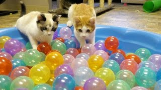 Cute Kittens Play in Ball Pit