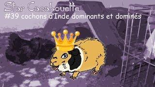 cochon d'Inde dominant et domin�