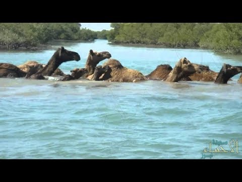 Elephants. And Camels are also known for their ability to swim in deep water