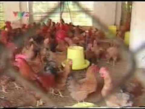 KT Chăn nuôi Gà thịt (III)
