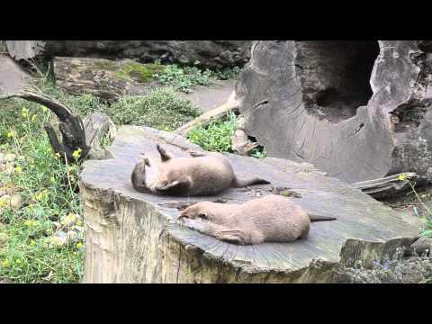 Amazing Otter Stuns The World With Juggling Skills