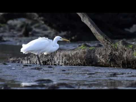 Garza Blanca / White Heron