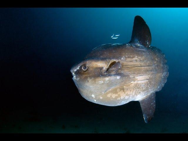 Рыба-Луна или Мола-Мола (лат. Mola mola)