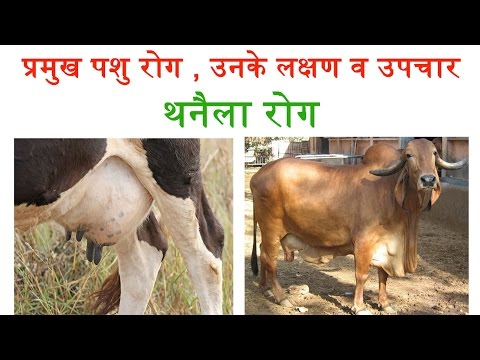 Thanela Disease - Most Common Diseases in Cattles | थनैला रोग- पशुओं में होने वाली प्रमुख बीमारी