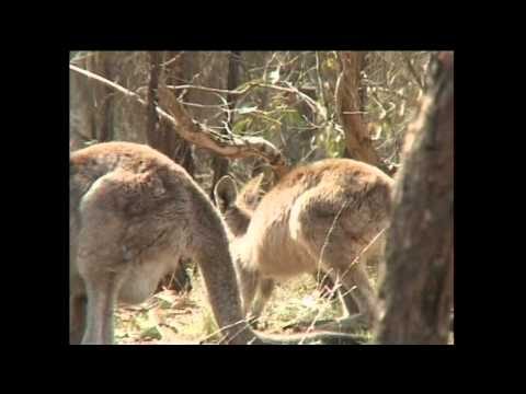 Australia kangaroo shooters in decline