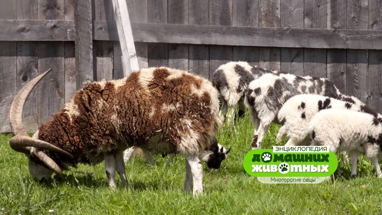 Энциклопедия домашних животных №6 - Многорогие овцы