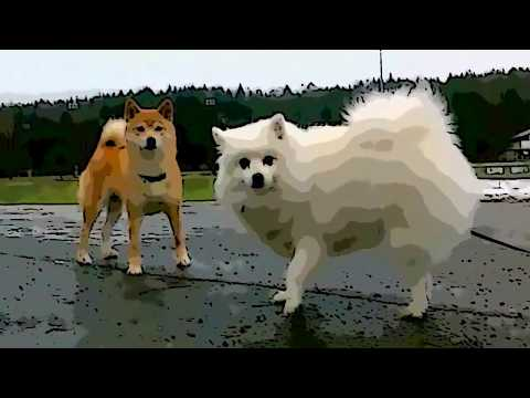 #073' My Japanese Spitz meets the Shiba Inu (柴犬 ?)