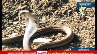 बुलढाण्यातील महिलेने साप पकड़ने छंद नव्हे तर प्रोफेशन बनवलय