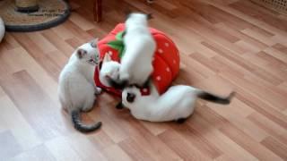 Как тайские котята атаковали домик и во что он превратился! Тайские кошки   это чудо! Funny Cats