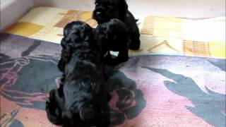 American Cocker Spaniel Puppies In Kennel Royal Illusion