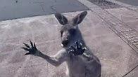 Kangaroo Gang Attacks Skydiver
