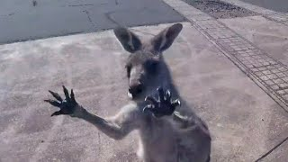 Kangaroo Gang Attacks Skydiver