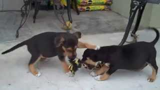 Beagle Mix Puppies