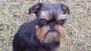 Порода собак Бельгийский гриффон