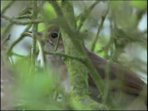 Nightingale.mpg