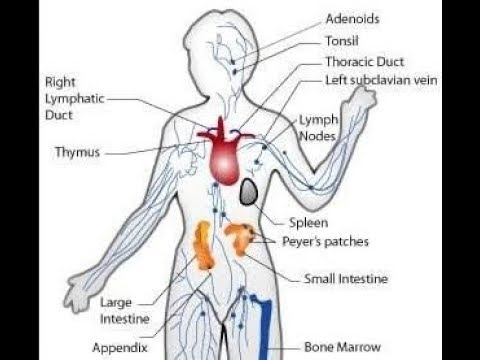 اين توجد الخلايا المناعيه داخل جسم الانسان دكتور عابد عرفات على فوود Youtube