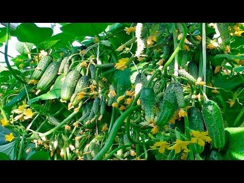 Вопрос: Как отобрать лучшие семена огурцов при сборе урожая?