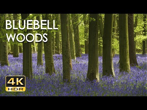 4K HDR Bluebell Woods - English Forest - Birds Singing - No Loop - Relaxing Nature Video & Sounds