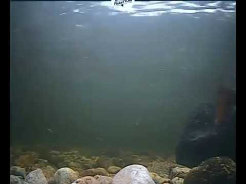 Salmon fights in Lakselv Norway Recorded LIVE camera