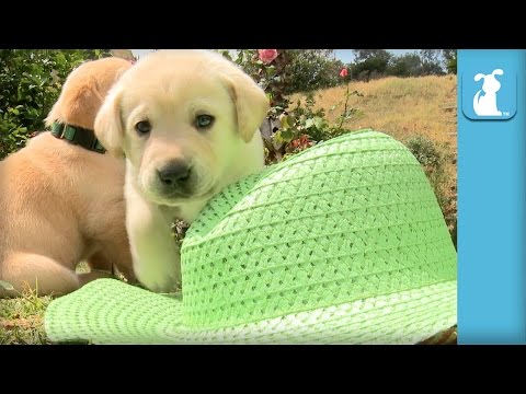 Yellow Labs Accessorize With A Sun Hat - Puppy Love