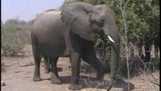Der Karneval der Tiere  Der Elefant