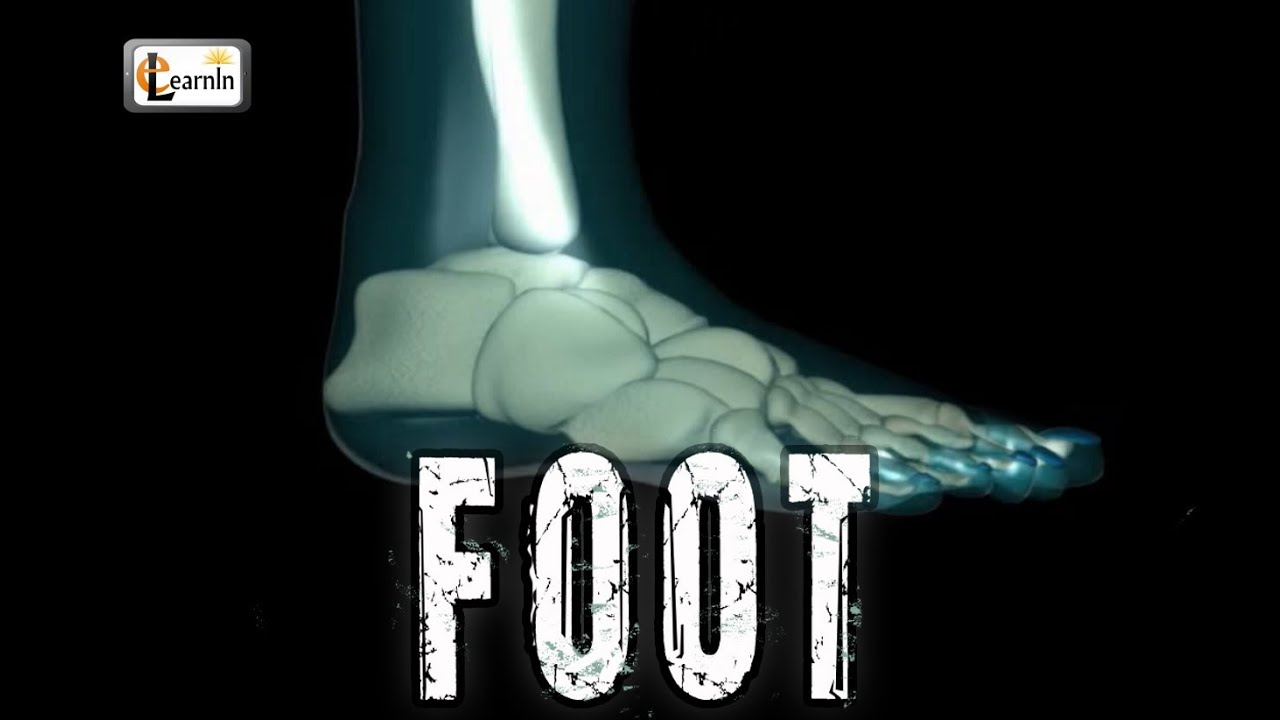 Foot Bones explained | Foot joints and ankle movements | Human ...