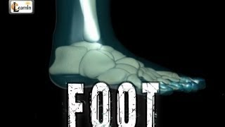 Foot Bones explained | Foot joints and ankle movements | Human Anatomy in 3D | elearnin