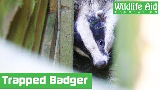 Badger trapped between two fences rescued!