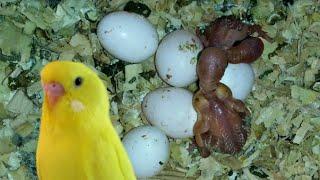 ДВА ПТЕНЦА волнистого попугая ВЫЛУПИЛИСЬ.  РАЗМНОЖЕНИЕ волнистых попугаев.  Самка кормит птенцов