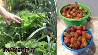 Когда и как менять садовую землянику