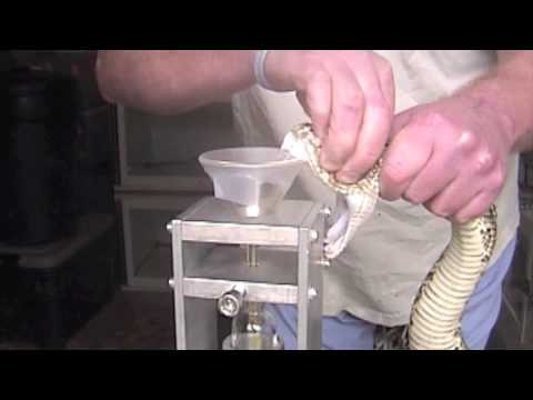 Eastern Diamondback (Crotalus adamanteus) Venom Extraction
