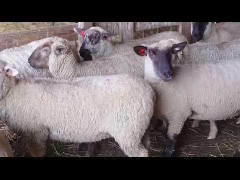 Health | OSU Sheep Team