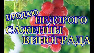 Продаю саженцы винограда в Новополоцке недорого.