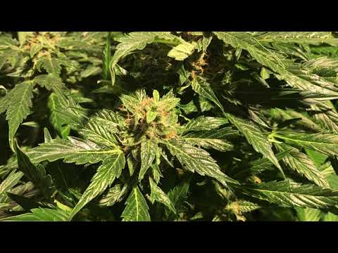Tent Update And A Look At The Migro Veg Light And What It's Done To My Plants. 🚀