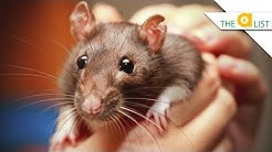 5 Fascinating Facts About Rats