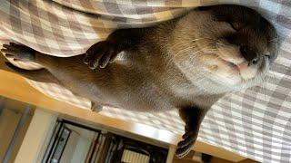 カワウソさくら へそ天芸を極め始めたカワウソ Otter sleeping with their navel out