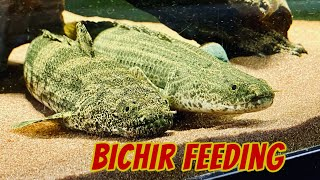 Bichirs Feeding on Massivore Delite - Ornate, PBB, Endlicheri, Lapradei, Weeksii, Senegal