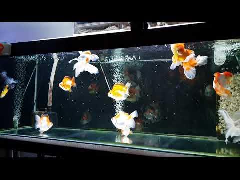 Feeding Tetrabits To My Goldfish
