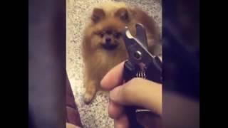 飼い主「爪切りするよー」犬「絶対の絶対にイヤ!」あらゆる場所に隠れる(動画)
