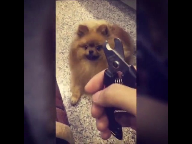 Dog Hides Every Time He Sees Nail Clippers