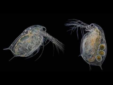Скорость эволюции, водяные блохи и молекулярные часы (рассказывает Алексей Котов)